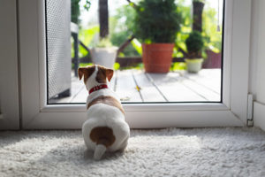 Jack Russel Terrier puppy sitting behind a doggie door